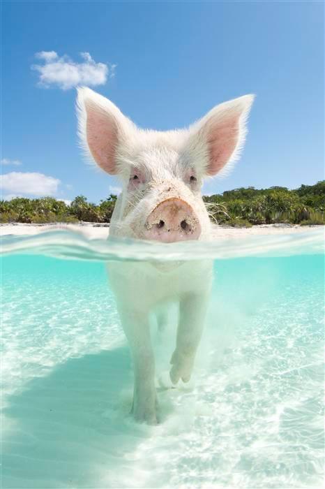 VISIT THE PIGS AT EXUMA